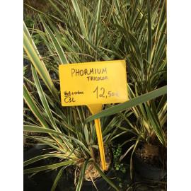 Phormium Tenax