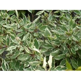 Cornus Alba 'Aureomarginata'