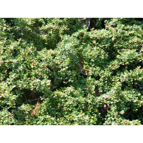 Cotoneaster Dammeri 'Streib's Finding'