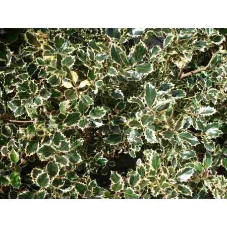 Ilex Aquifolium 'Aureo marginata'