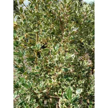 Ilex Aquifolium 'Ferox Aurea'