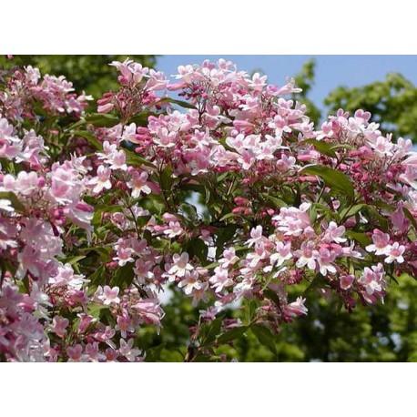 Kolkwitzia amabilis 'Pink cloud'