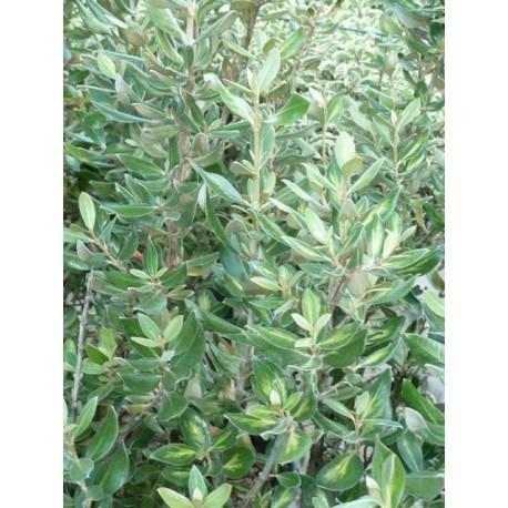 Olearia traversii variegata