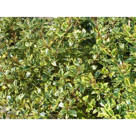 Osmanthus heterophyllus 'Gulftide'