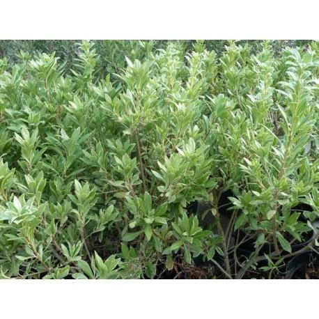 Pittosporum heterophyllum 'Variegatum'