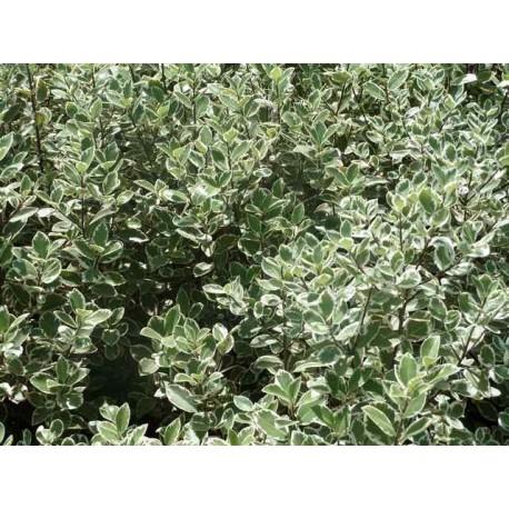 Pittosporum tenuifolium 'Garnetti'