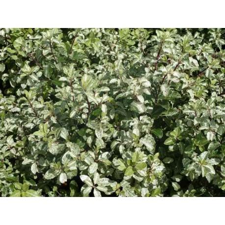 Pittosporum tenuifolium 'Irène Patterson'