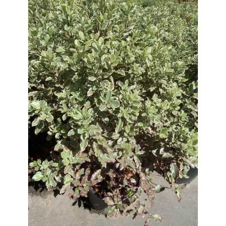 Pittosporum tenuifolium 'Saundersii'
