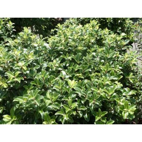 Pittosporum tenuifolium 'Cap Sizun'