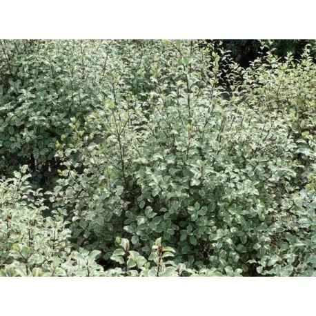Pittosporum tenuifolium 'Victoria'