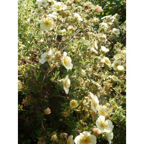 Potentilla fructicosa 'Primrose'