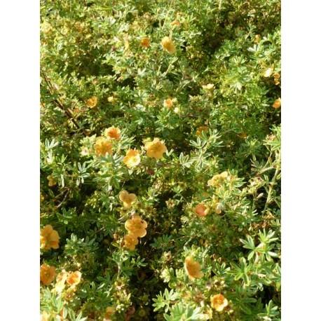 Potentilla fructicosa 'Tangerine'