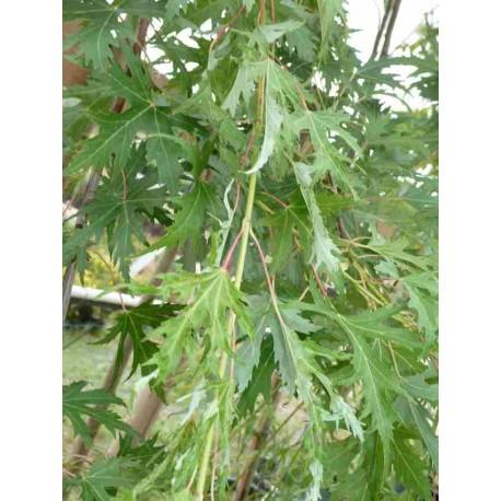 Acer Saccharinum 'Laciniatum Weiri'