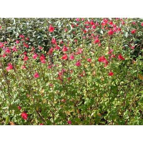 Salvia microphylla (ou grahamii)
