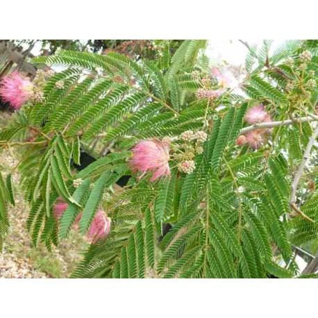 Albizia Julibrissin ombrella 'Boubri'