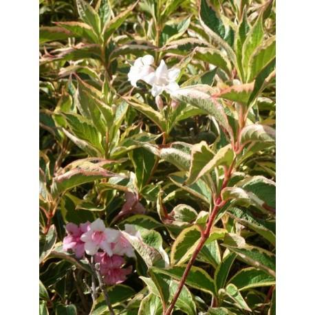 Weigelia 'Kosteriana variegata'
