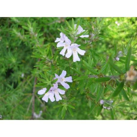 Westringia rosmarinifolia (ou fructicosa)