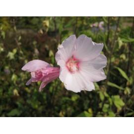 Lavatera 'Barnsley Pale pink'