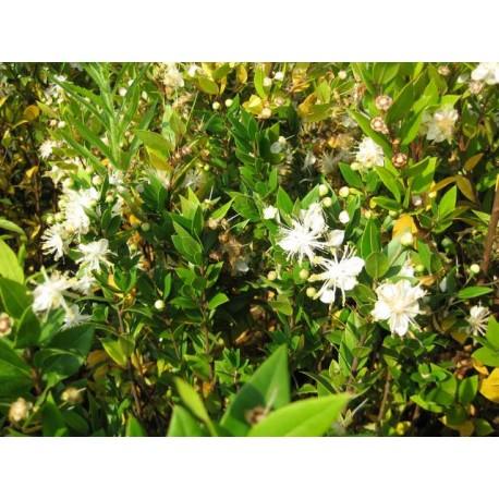 Myrtus communis