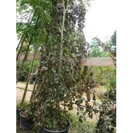 Fagus Sylvatica Purpurea 'Pendula'