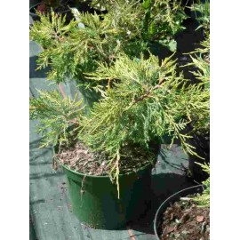 Juniperus x Media 'Pfitzeriana Aurea'