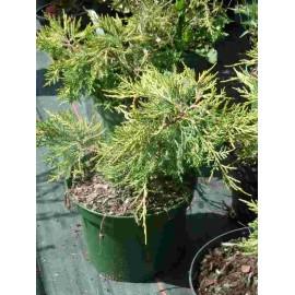 Juniperus x Media 'Pfitzeriana Aurea'
