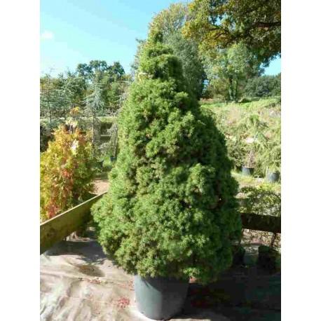 Picea Albertiana 'Conica'