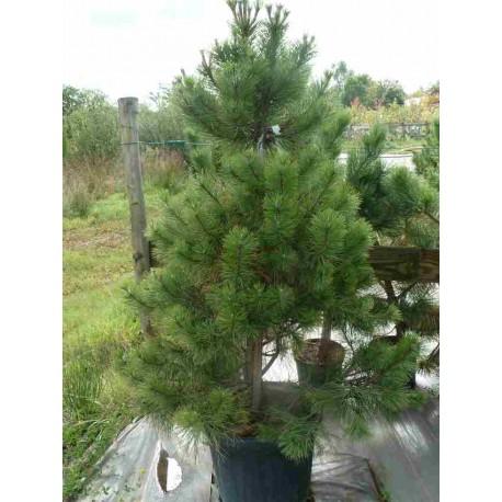 Pinus Austriaca 'Nigra'