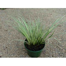 Carex 'Island Brocade'