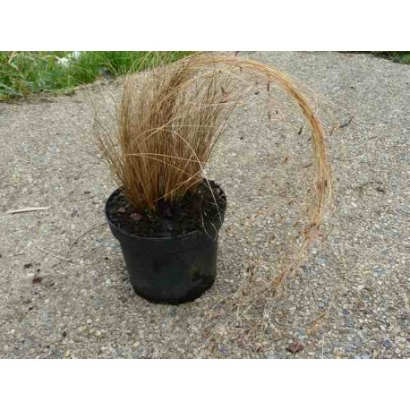 Carex Comans 'Red'