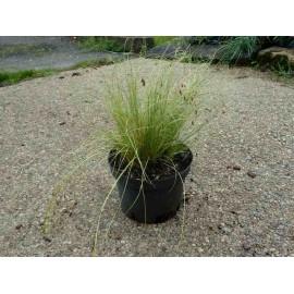 Carex Compans
