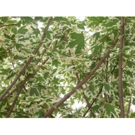 Acer Platanoïdes 'Drummondii'