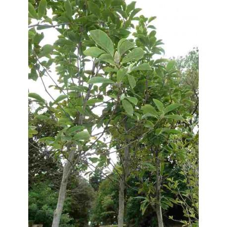 Magnolia x Soulangiana
