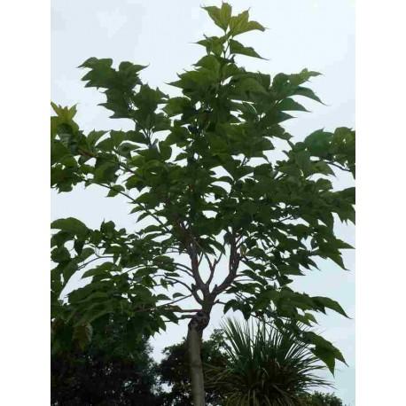Morus Platanifolia