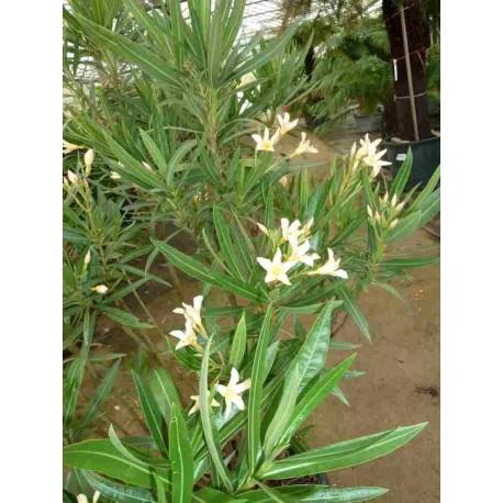 Nerium Oleander 'Souvenir des Iles de Capri'