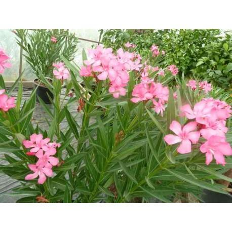 Nerium Oleander 'Ville de de sernhac'