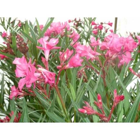 Nerium Oleander 'Antoine'