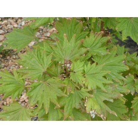 Acer japonica Aureum