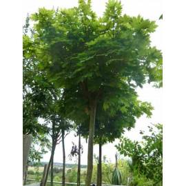 Acer platanoïdes