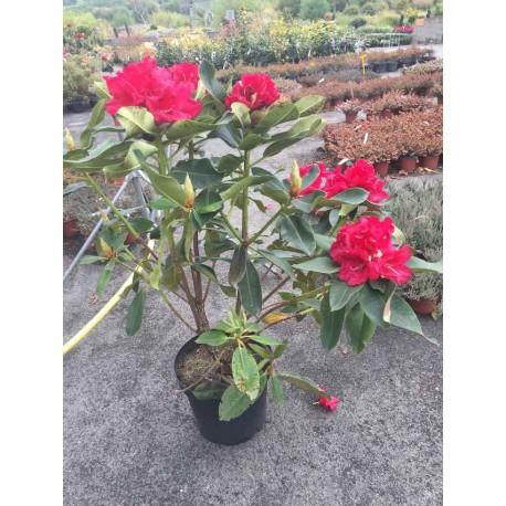 Rhododendron Marketa's Prize