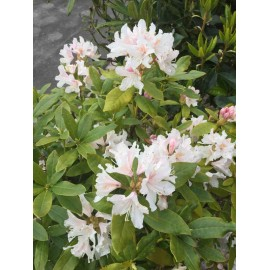 Rhododendron cunningham white