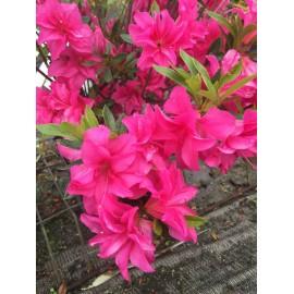 Azalea Japonica 'Rosa King'