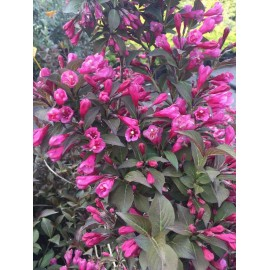 weigela florida red select