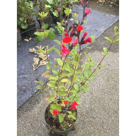 Salvia microphylla Royal Bubble
