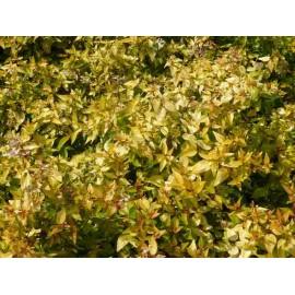 Abelia x grandiflora 'Gold spot'