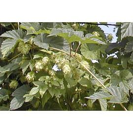 humulus lupulus aureus tipi (houblon)