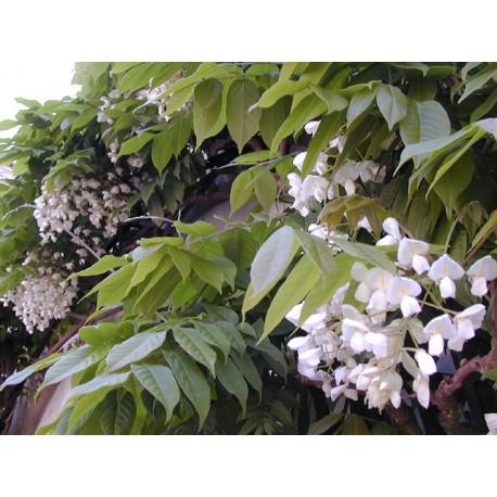 Westringia floribunda 'alba' glycine blanc