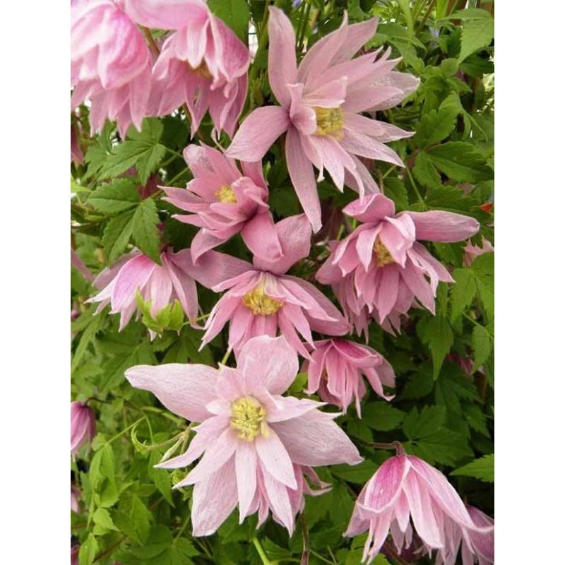 une plante Martin 25 janvier trouvée par Martine et Ajonc - Page 2 Grimpantes-clematis-macropetala-markhamii