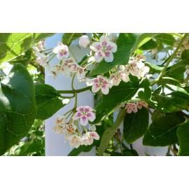 dregea sinensis (wattakaka de chine)
