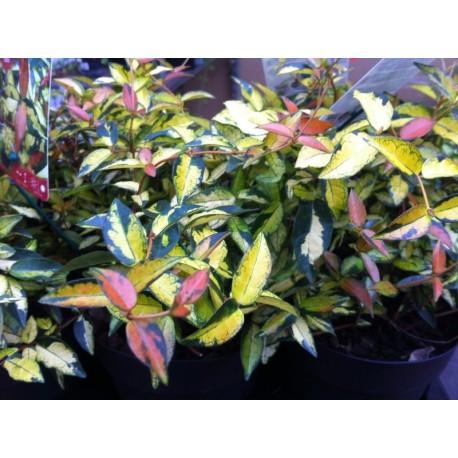 Trachelospermum asiaticum 'ogon nishiki'